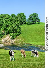 Cattle in field next to River Bela in Cumbria, England -...