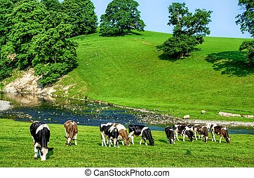 Grazing cattle in Cumbria, England - Grazing cattle in green...