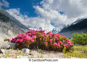 Rhododendrons under mountains of glaciers in the Alps in the...