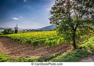 Vineyard near Montalcino in Tuscany, Italy