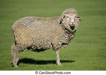 merino, sheep