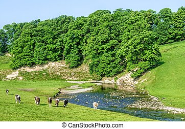 Cattle grazing in field next to River Bela, Cumbria, England...