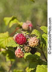 ripe and unripe raspberries and leaves on branch