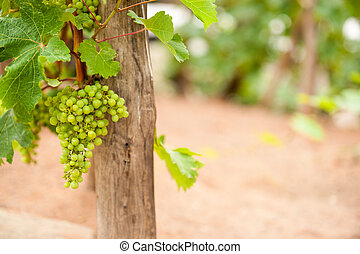 Bunch green grapes haning on vine - Bunch ripe green grapes...