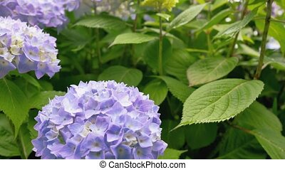 Large shrub with hydrangea flowers. Video Motion bottom to top. Camera movement from one flower to the bottom of a large number of flowers on top.