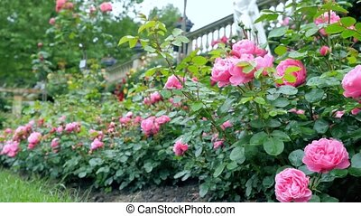 Bushes with lots of pink roses. Camera movement makes it...