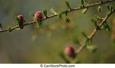 Young spruce buds bloom on branch of a coniferous tree...