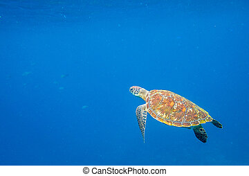 Turtle Sea in the water - Green turtle, Chelonia mydas,...
