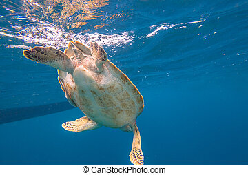Marine turtle swimming - Close up of green turtle, Chelonia...