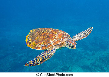 Green turtle at Similan - Close up of green turtle, Chelonia...