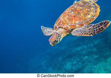 Marine turtle Similan Islands - Marine green turtle,...
