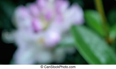 Pink flower rhododendron Camera movement makes it possible...
