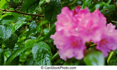Purple flower rhododendron. Camera movement makes it...
