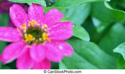 Zinnia flower. Changing the focal length. - Zinnia flower....