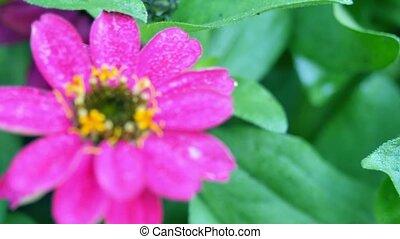 Zinnia flower. Changing the focal length.