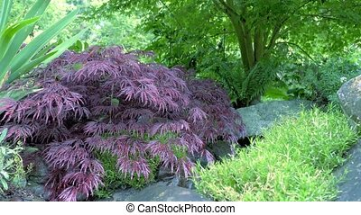 The shrub with purple leaves Camera movement makes it...