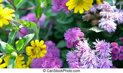 Beautiful purple flowers. Its scientific name is Ageratum...