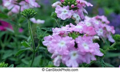 Variety of wild flower. Pink flower with a tinge of purple. Changing the focal distances.