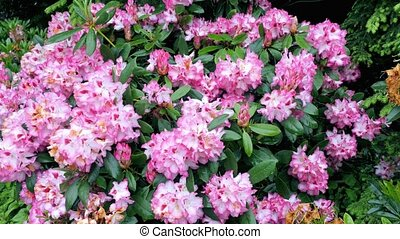 Pink flower rhododendron. Camera movement makes it possible...