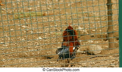 Rooster walks around of hens that incubates the eggs in the...