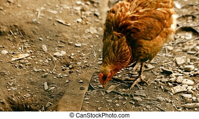 Chicken with beautiful plumage walking on the ground and...