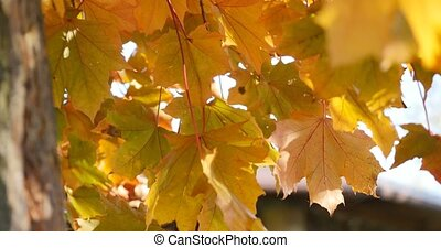 Fall yellow maple leaves