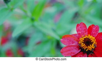 Zinnia flower motion video from one flower to another -...