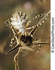 Spider argiope lobed on the web nearly dry plant