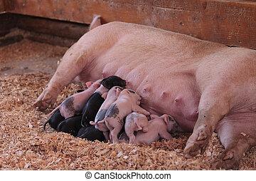 rosa,  cerdos, todavía, cerditos, enfermería