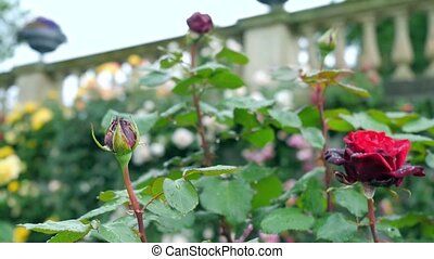 Two red roses one of which has blossomed and the other still...