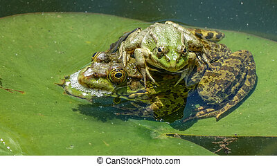 Two Frogs On A Water