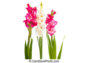 Gladiolus on a white background
