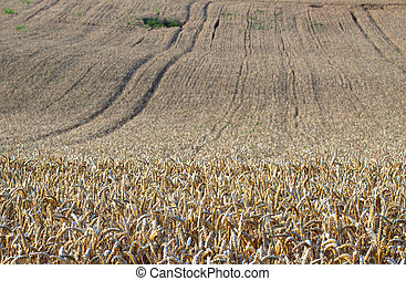 Wheat - View of a field of wheat with big furrows