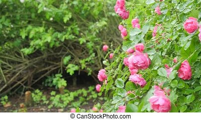 Large shrub with flowers of roses Camera movement makes it...