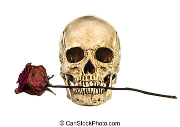 Skull with dry red rose in teeth on white background
