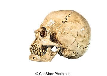 Side view of human skull on white background