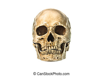 Front view of human skull on white background