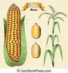 Maize - Retro vintage maize illustration. corn. Realistic,...