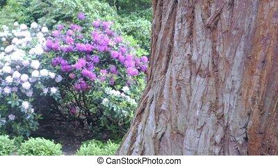 Violet-white rhododendron bushPurple flower rhododendron...