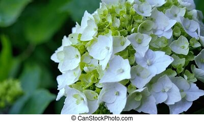 White hydrangea with small green leaves. motion video from the rear to the front.