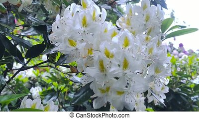 White flowers of rhododendron. Camera movement makes it...