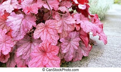 Burgundy leaves in the garden in the foreground. - Burgundy...