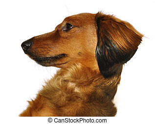 Red Long-Haired Dachshund - Profile of Red Long-Haired...