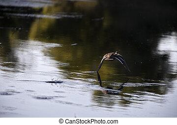 ducks in a natural environment, the Danube Delta Romania