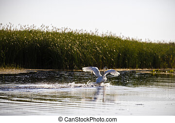 Cygnus olor in the natural environment, the Danube Delta,...