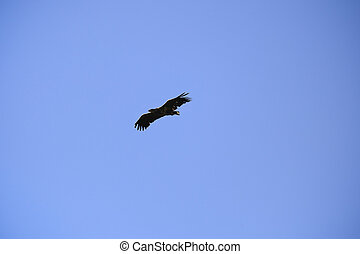 Aquila clanga the natural environment, the Danube Delta...