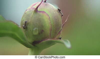 Ants on a peony Bud - Ants closeup, licking the nectar on...