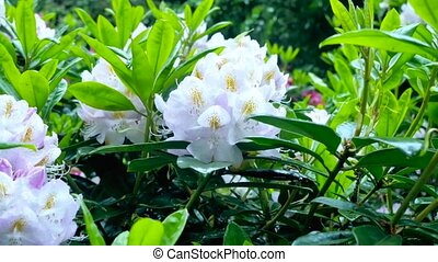White flowers of rhododendron Camera movement makes it...