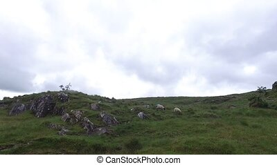 sheep grazing on hills of connemara in ireland 16 - nature...