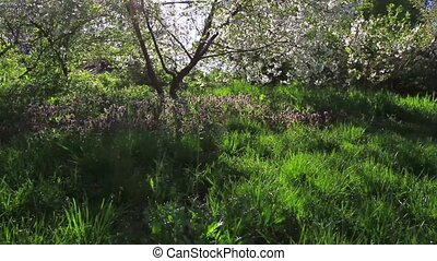 cherry tree and sunlight in the crowns,trees,...